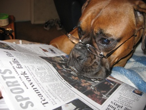 bulldog reading newspaper